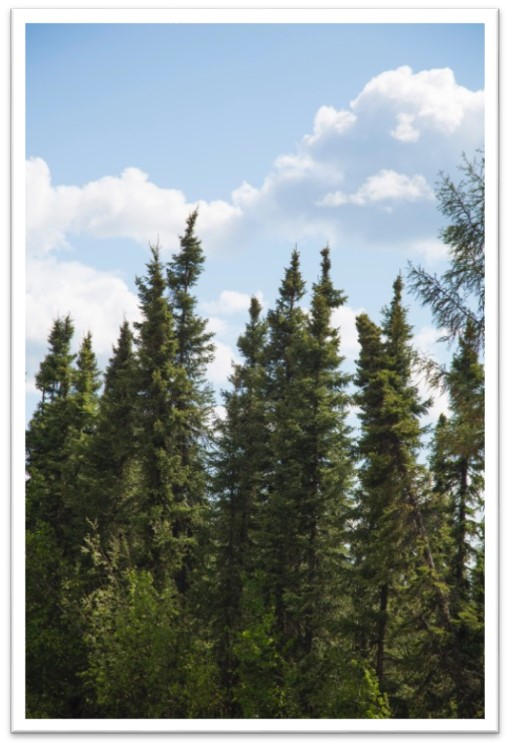 spruce-3